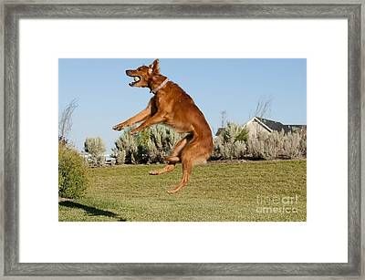 Golden Retriever Catching A Ball Framed Print by William H. Mullins