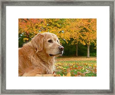 Golden Retriever Dog Autumn Leaves Framed Print by Jennie Marie Schell