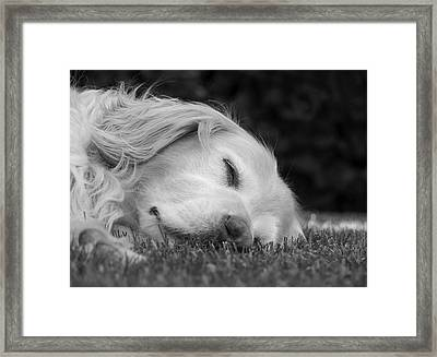 Golden Retriever Dog Sweet Dreams Black And White Framed Print by Jennie Marie Schell