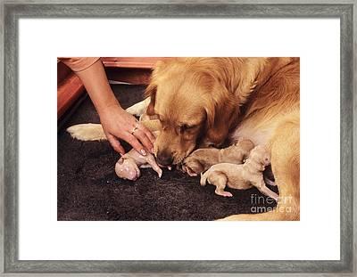 Golden Retriever Dog Whelping Framed Print by John Daniels