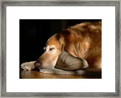 Golden Retriever Dog With Master's Slipper Framed Print by Jennie Marie Schell