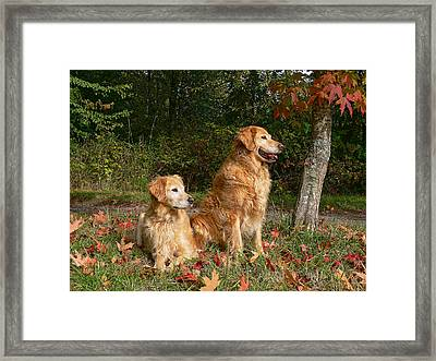 Golden Retriever Dogs In Autumn Framed Print by Jennie Marie Schell