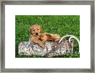 Golden Retriever Puppies Framed Print by Linda Freshwaters Arndt