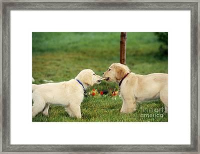Golden Retriever Puppies Tugging On Bone Framed Print by Alan Carey