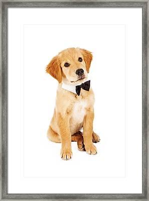 Golden Retriever Puppy Wearing Bow Tie Framed Print by Susan  Schmitz
