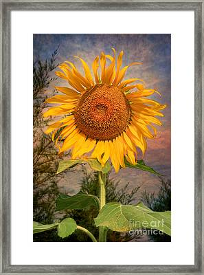 Golden Sunflower Framed Print by Adrian Evans
