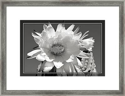 Golden Torch Cactus 4 Framed Print by Cindy Nunn