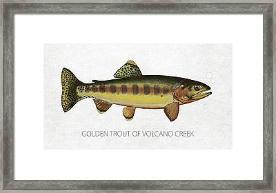 Golden Trout Of Volcano Creek Framed Print by Aged Pixel