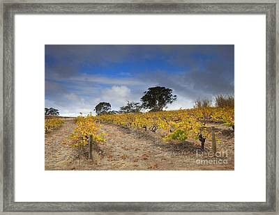 Golden Vines Framed Print by Mike  Dawson