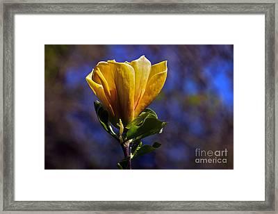 Golden Yellow Magnolia Blossom Framed Print by Byron Varvarigos