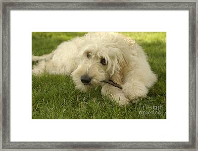 Goldendoodle Pup With Stick Framed Print by Anna Lisa Yoder