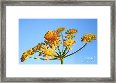 Goldenrod Crab Spider On Fennel Framed Print by Leyla Ismet