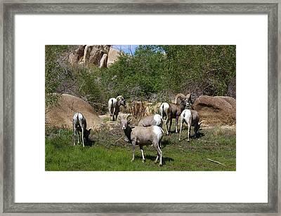 Good Bye Bighorn Sheep Framed Print by Renee Sinatra