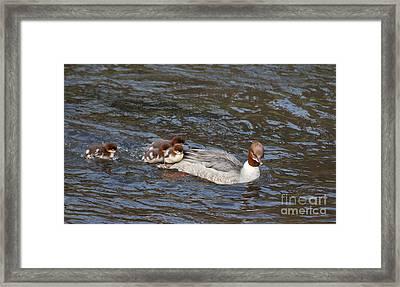 Goosander / Common Merganser  With Fluffy Ducklings Framed Print by Liz Leyden
