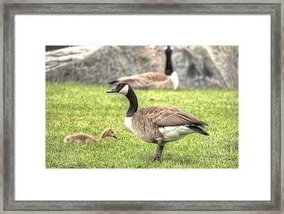 Goose And Gosling Afternoon Graze Framed Print by Deborah Smolinske