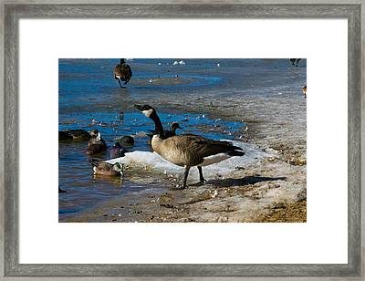 Goose Gazing Greater Framed Print by Matt Radcliffe