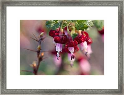 Gooseberry Flowers Framed Print by Peggy Collins