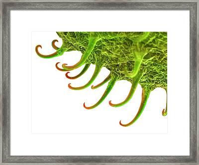 Goosegrass Fruit Framed Print by Alex Hyde