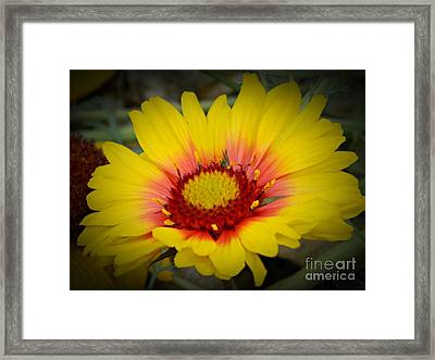 Gorgeous Daisy Framed Print by Chalet Roome-Rigdon