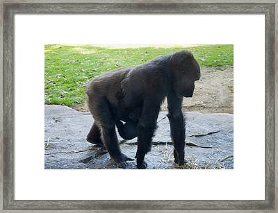 Gorilla With Baby Holding On Framed Print by Chris Flees
