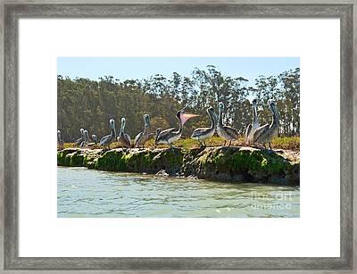 Gossip - Group Of Brown Pelican Pelecanus Occidentalis On The Elkhorn Slough. Framed Print by Jamie Pham
