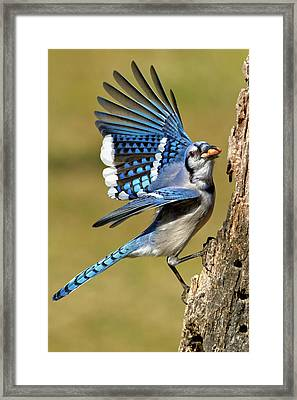 Gotta Go Framed Print by Bill Wakeley
