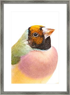 Gouldian Finch Erythrura Gouldiae Framed Print by David Kenny