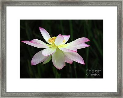 Graceful Lotus Framed Print by Sabrina L Ryan