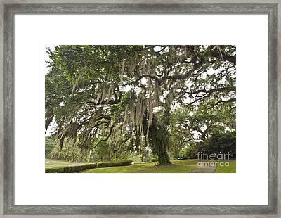 Graceful Oak Framed Print by Debra Johnson