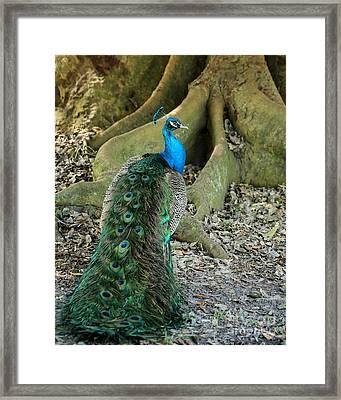 Graceful Peacock Framed Print by Sabrina L Ryan