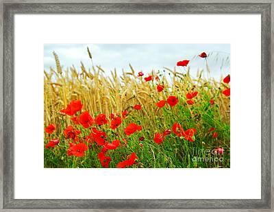 Grain And Poppy Field Framed Print by Elena Elisseeva