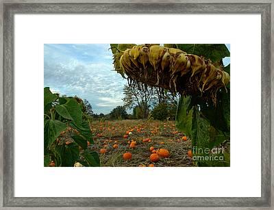 Grandpa's Pumpkin Patch Framed Print by Nick  Boren