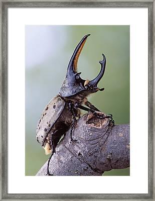 Grant's Rhinoceros Beetle Dynastes Granti Framed Print by Robert Jensen