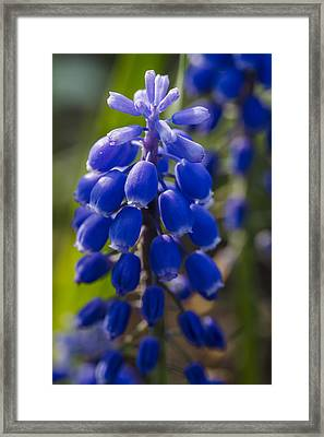 Grape Hyacinth Framed Print by Adam Romanowicz