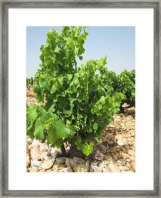 Grape Plant Framed Print by Pema Hou