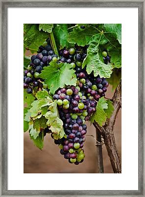 Grape Veraison Framed Print by Swift Family