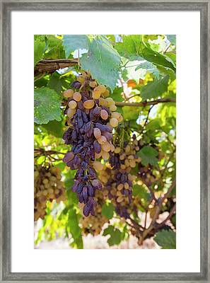 Grapes Growing In Bakersfield Framed Print by Ashley Cooper