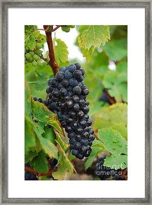 Grapes Framed Print by Hannes Cmarits