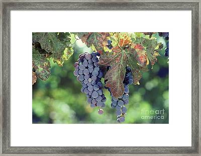 Grapes Nearing Maturity In Napa Valley Framed Print by Ron Sanford