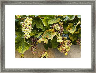 Grapes Of Provence Framed Print by Karma Boyer
