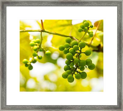 Grapes On The Vine - Finger Lakes Vineyard Framed Print by Photographic Arts And Design Studio