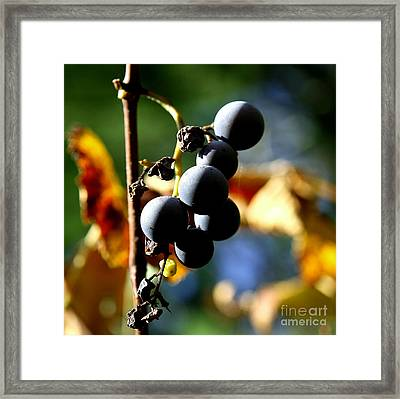 Grapes On The Vine In Square  Framed Print by Neal  Eslinger