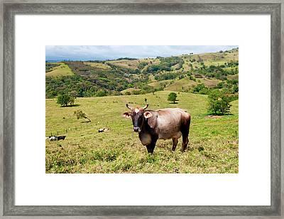 Grass Fed Brahman Cattle, Costa Rica Framed Print by Susan Degginger