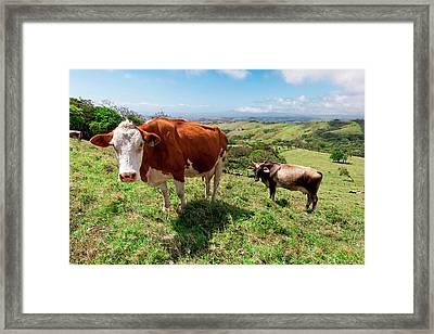 Grass Fed Cattle, Costa Rica Framed Print by Susan Degginger