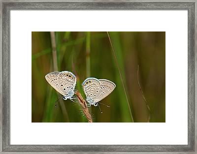 Grass Jewel Butterflies Framed Print by K Jayaram