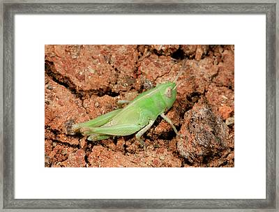 Grasshopper Aiolopus Strepens Nymph Framed Print by Nigel Downer