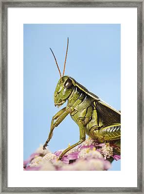 Grasshopper Close-up Framed Print by Thomas Kitchin & Victoria Hurst