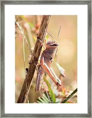 Grasshopper In The Marsh Framed Print by Carol Groenen