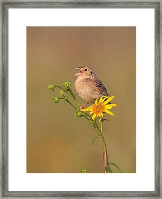 Grasshopper Sparrow Singing Framed Print by Daniel Behm