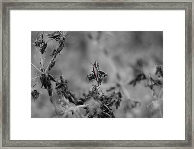 Grasshoppers Framed Print by Ethan Allen